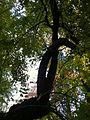 Sophora japonica var. pendula (4).JPG