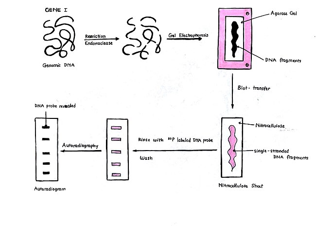 Structural Biochemistry/DNA recombinant techniques/Southern Blot ...