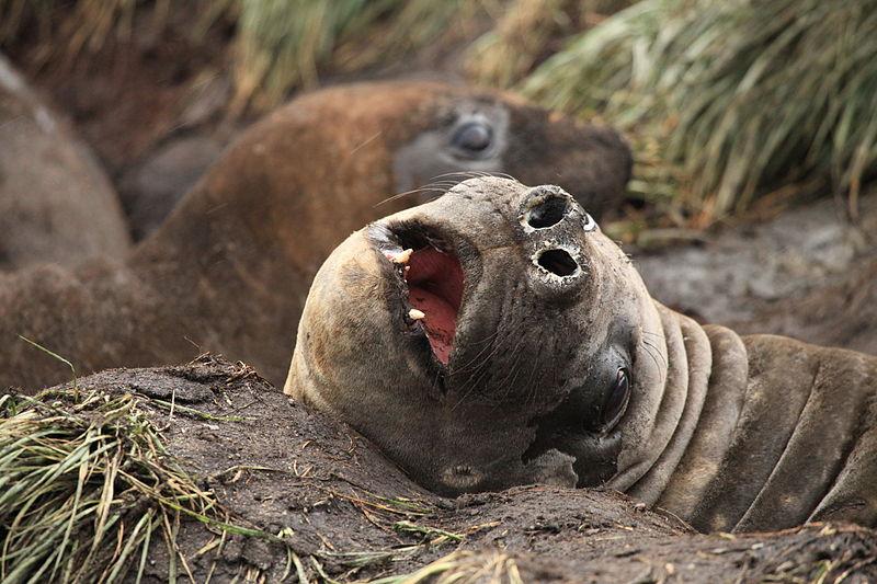 File:Southern Elephant Seal (5798382482).jpg