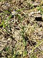 Spergularia rubra sl17.jpg
