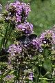 Spicebush Swallowtail - male NBG LR.jpg