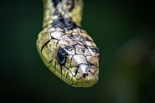 <i>Spilotes pullatus</i> Species of snake