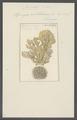 Spongia ventilabrum - - Print - Iconographia Zoologica - Special Collections University of Amsterdam - UBAINV0274 112 05 0021.tif