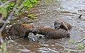 Spotted Hyaenas (Crocuta crocuta) playing in the water ... (32427034583).jpg