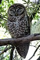 Spotted Owl Strix occidentalis lucida, Arizona - gailhampshire.jpg