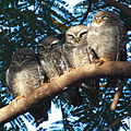 Spotted Owlet at Lalbagh.JPG