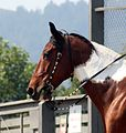 Spotted Saddle Horse head.jpg