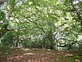 Spreading beeches, Bramshaw Wood, New Forest - geograph.org.uk - 59863.jpg