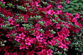 Spring-azalea-flowers - West Virginia - ForestWander.jpg
