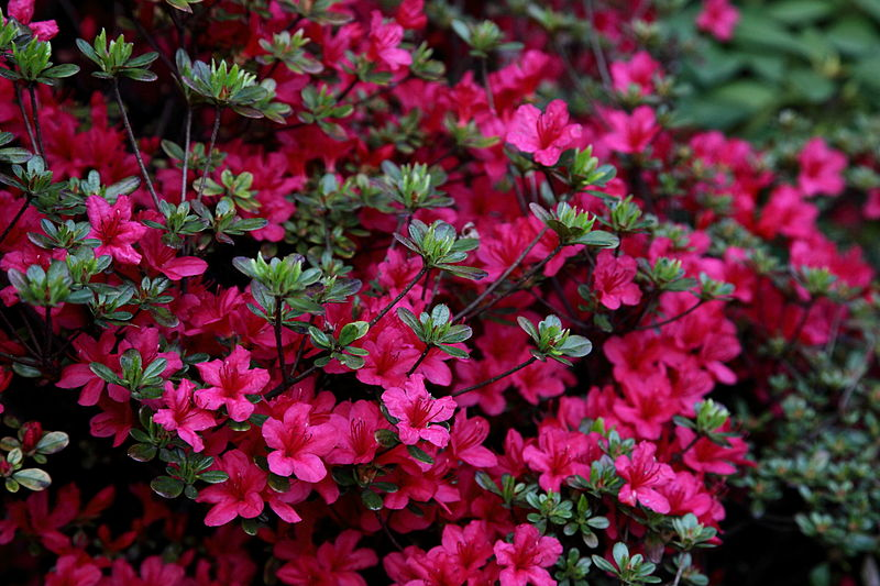File:Spring-azalea-flowers - West Virginia - ForestWander.jpg