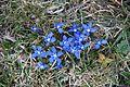Spring gentian - Gentiana verna - panoramio (2).jpg