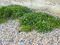 St Margaret's at Cliffe Foreshore vegetation0388.JPG