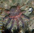 Star fish with no few legs.jpg