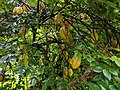 Starfruit (Averrhoa carambola) on the tree.jpg
