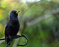 Starling muttering to close by Friends (11294605636).jpg