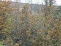 Starr-010419-0082-Grevillea robusta-habit-Kula-Maui (24532288215).jpg