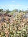 Starr-040526-0026-Amaranthus hybridus-habit-Puu o Kali-Maui (24617770811).jpg