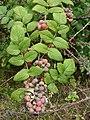 Starr-070621-7483-Rubus niveus-form a fruit and leaves-Upper Kimo Dr Kula-Maui (24889901085).jpg