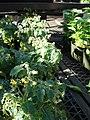 Starr-080103-1265-Solanum lycopersicum-flowering habit-Lowes Garden Center Kahului-Maui (24273764364).jpg