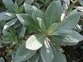 Starr-080117-2020-Conocarpus erectus-leaves-Home Depot Nursery Kahului-Maui (24901610435).jpg
