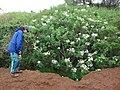 Starr-081230-0648-Montanoa hibiscifolia-flowering habit with Kim-Upper Kaulana-Kahoolawe (24900913246).jpg