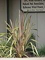 Starr-090426-6317-Phormium tenax-habit-Kulamalu Town Center Kula-Maui (24321888874).jpg