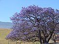 Starr-090514-7778-Jacaranda mimosifolia-flowering habit-Kula-Maui (24659660140).jpg