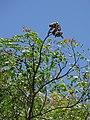 Starr-090623-1531-Adenanthera pavonina-canopy and seedpods-Nahiku-Maui (24671293320).jpg
