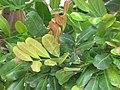 Starr-090806-3972-Cupaniopsis anacardioides-leaves-Wailuku-Maui (24676187410).jpg