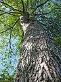 Starr-091104-0836-Terminalia sp-bark and canopy-Kahanu Gardens NTBG Kaeleku Hana-Maui (24961375226).jpg