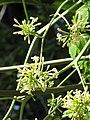 Starr-091104-9305-Carica papaya-male flowers-Kahanu Gardens NTBG Kaeleku Hana-Maui (24895694451).jpg