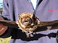 Starr-100907-9093-Eucalyptus sp-habitat with Hawaiian hoary bat Lasiurus cinereus semotus-Olinda-Maui (24755918320).jpg