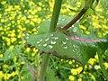 Starr-110301-1775-Sonchus oleraceus-leaves with rain drops-Kula-Maui (24958628082).jpg