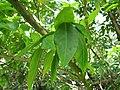 Starr-110330-3822-Strongylodon macrobotrys-leaves-Garden of Eden Keanae-Maui (24453920473).jpg