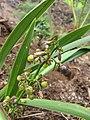 Starr-110411-5027-Dianella sandwicensis-fruit form lavarum-Hawea Pl Olinda-Maui (25056279266).jpg