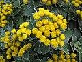 Starr-121108-0674-Ajania pacifica-flowering habit-Pali o Waipio-Maui (25077539662).jpg