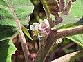 Starr-121108-0731-Solanum quitoense-flower-Pali o Waipio-Maui (25169707416).jpg