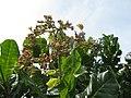 Starr-121108-1111-Anacardium occidentale-flowers-Pali o Waipio-Maui (24566103544).jpg