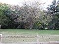 Starr-130320-3521-Gliricidia sepium-habit very large tree-Anini Beach-Kauai (25091030922).jpg