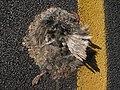 Starr-131124-3721-Pinus sp-roadkill dead chukar on road-Front Country HNP-Maui (25227944365).jpg