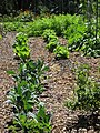 Starr-170604-9027-Brassica oleracea-Tuscano kale in veggie garden-Hawea Pl Olinda-Maui (34853246490).jpg