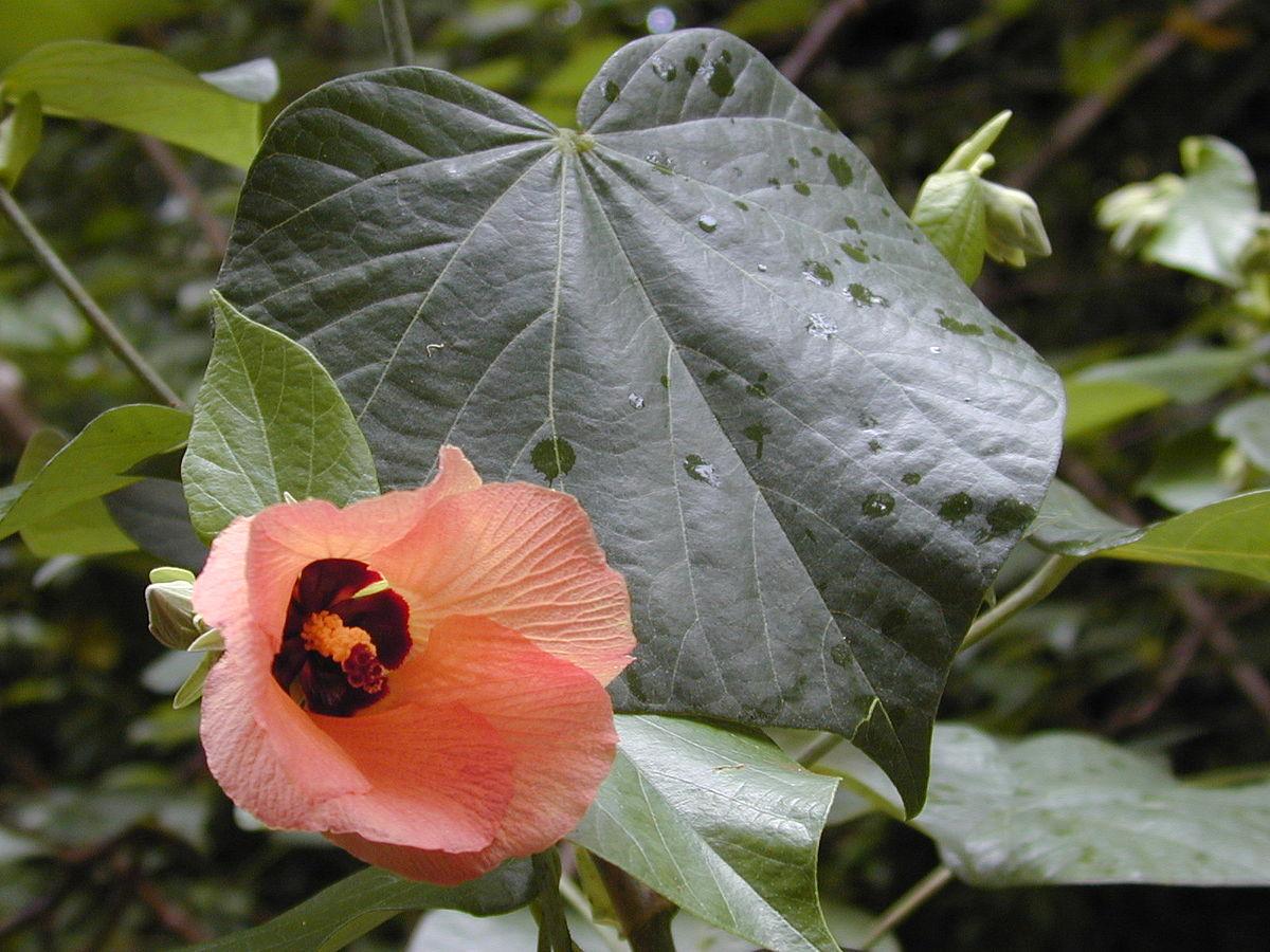 Hibiscus tiliaceus wikipedia for Hibiscus arbol