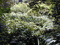 Starr 030405-0035 Hedychium sp..jpg