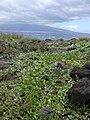 Starr 040330-0340 Jacquemontia ovalifolia subsp. sandwicensis.jpg