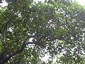 Starr 040514-0068 Aleurites moluccana.jpg