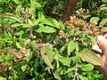 Starr 060416-7720 Pluchea carolinensis.jpg