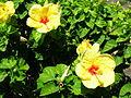 Starr 060820-8626 Hibiscus rosa-sinensis.jpg