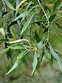 Starr 070308-5319 Olea europaea subsp. cuspidata.jpg