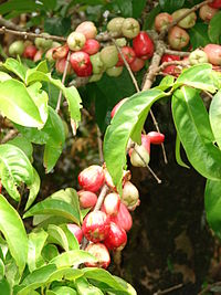 Starr 070321-6135 Syzygium malaccense.jpg