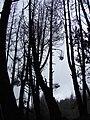Starr 070908-9370 Pinus sp..jpg